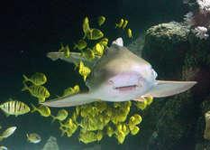 Zebrahai mit Königsmakrelen (Foto: Sea Life Timmendorfer Strand)